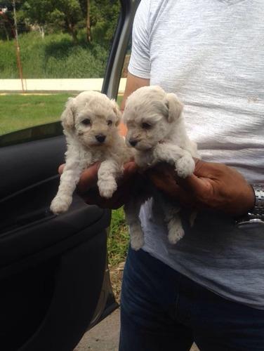 Filhotes De Cães Poodle Micro Toy Vacina Vermifugo