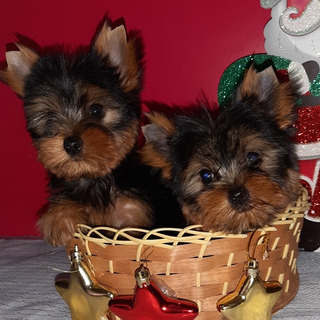 Yorkshire Terrier Hembra Macho Teacup Pedigre
