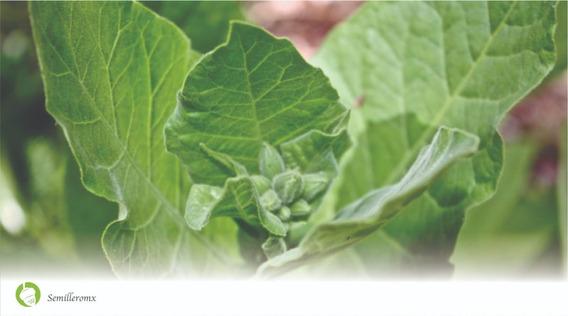 kit de semillas con 3 variedades de nicotiana para mezclas cl/ásicas Tabaco de pipa