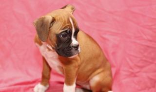 Cachorros Boxer Para Adopción