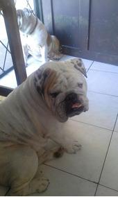 Bulldog Inglés Servicio De Padrotes Servicio Inseminación