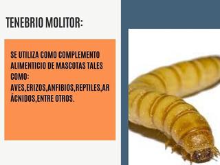 Tenebrios Molitor 250 X $ 350 .envios Sin Cargo!!consultar