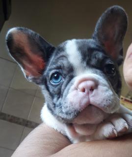 Increibles Bulldog Frances Gen Blue. Varios Colores