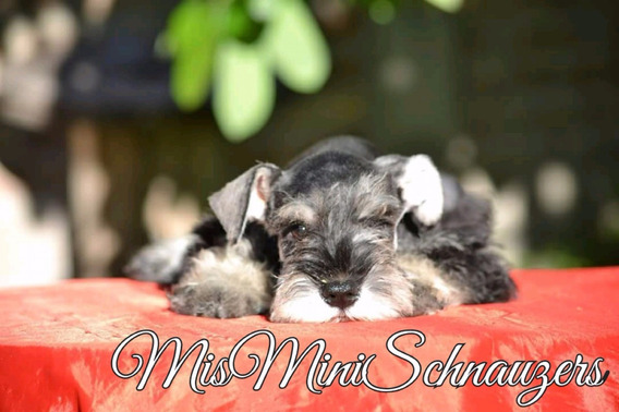 Cachorros Schnauzer Miniatura Sal Pimienta Misminishnanauzer