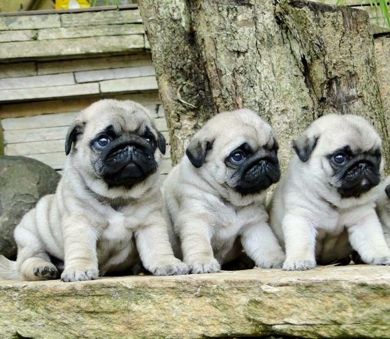 Cachorros Pug Machos Olivos. No Bulldog En Ctas