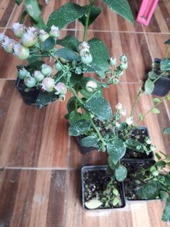 Plantas De Arándano Biloxy Pkt 2