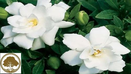 Imagen 1 de 3 de Gardenia ( Planta )  Paq De 4 Pzas  11 Variedades A Elegir