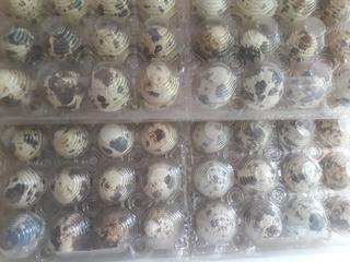 Huevos Fertiles De Codornices X 10 Docenas