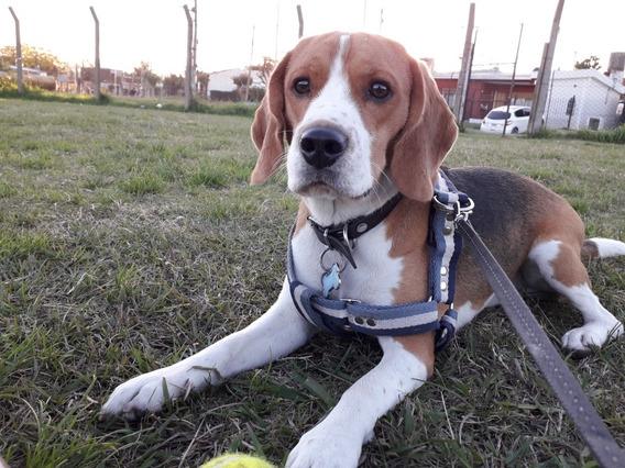 Beagle Macho (para Monta)
