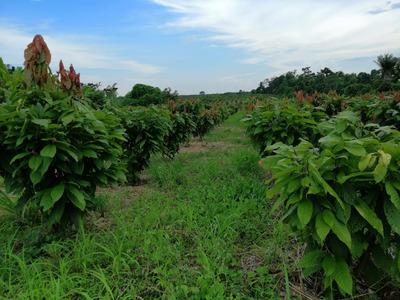 Vendo Finca 11 Cuadras Con Cacao Ccn 51 Quevedo San Carlos