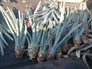 Plantas De Agave Azul 30 Piezas Tequilana Weber Jalisco