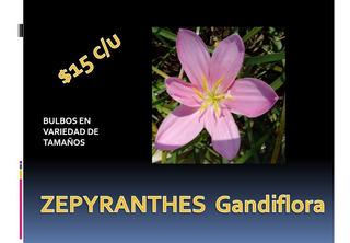Zepyranthes Gandiflora
