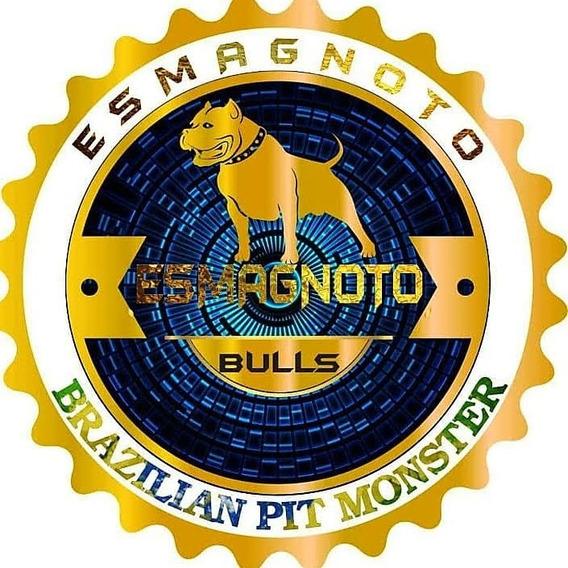 Filhotes De Pit Monster Esmagnoto Bulls