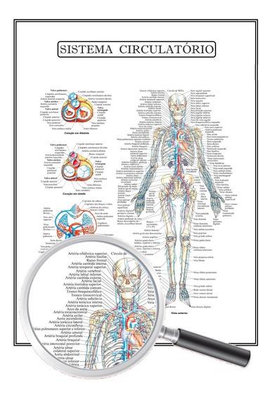 Poster Anatomia Humana Sistema Circulatório 30x40 Cm