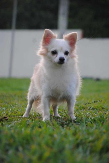 Chihuahua Pelo Longo. Linhagem Importada.