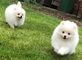 Cachorros De Pomeriania Para Adopción