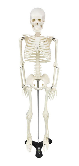 Esqueleto 85 Cm Anatomia Humana Medicina Sobotta Brunner