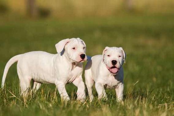 Dogo Argentino Excelentes Filhotes