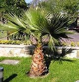 Palmera Abanico Washintonia 10 Semillas Sdqro2