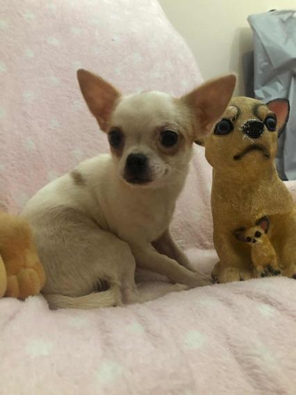 Chihuahua Hembrita Mini