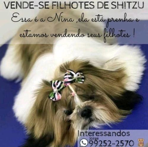 Imagem 1 de 5 de Vendo Filhotes De Shih-tzu Puros (3machos E Uma Fêmea)