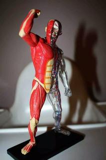 Anatomía Muscular Y Esqueleto 4d