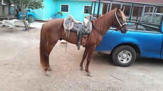 ¡¡¡¡¡¡¡ Gran Venta De Caballo Azteca Alazan!!!!!!!!