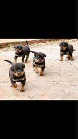 Filhotes De Hottweiler Lindos Machos Cabeçudos