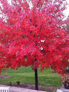 Acer Rubrum (arce Rojo) 10 Semillas