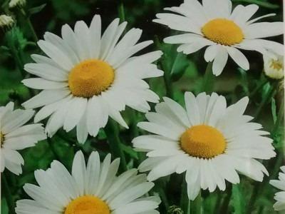 Crisantemo Blanco Gigante 25 Semillas Planta De Sol Sdqro2