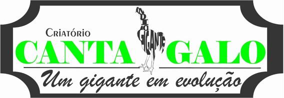 Índio Gigante Ovos Férteis De Galinhas Do Legitimo Galo Ig.
