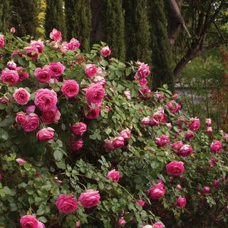 Semillas De Rosas Trepadoras Rosas (rosaceae)