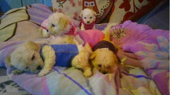 Cachorros Caniches Toy Mini Aceptamos Tarjetas!!