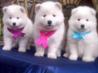 Se Regalan Cachorros Perros De Raza Mercadolibre Com Co