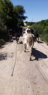 Sevenden. Vacas .apunto De Parir. I Vaquillonas . I Tamvie