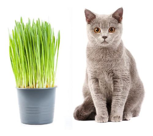 1000 Sementes Da Grama Dos Gatos Verdadeira