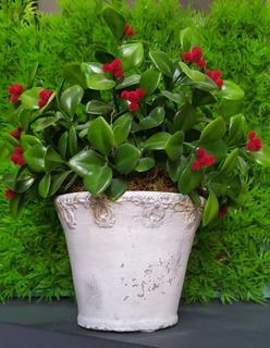 Plantas Con Cherry En Maceta De Trabajada Vintage