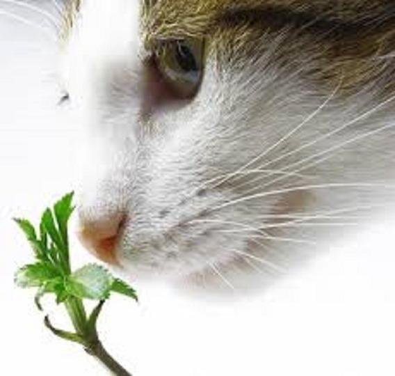 Sementes De Erva Do Gato Aromática Catnip Nepeta Cataria