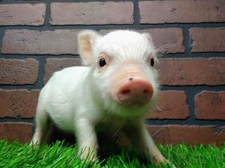 Minipig, Minipigs, Mini Pig Cerditos