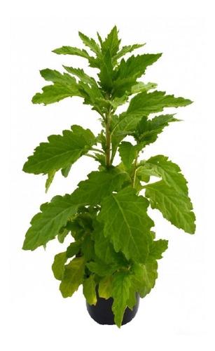 Semillas De Paico Planta Medicinal Para Huerto Y Cultivo