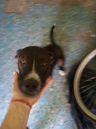 Perrita Cachorra En Adopción