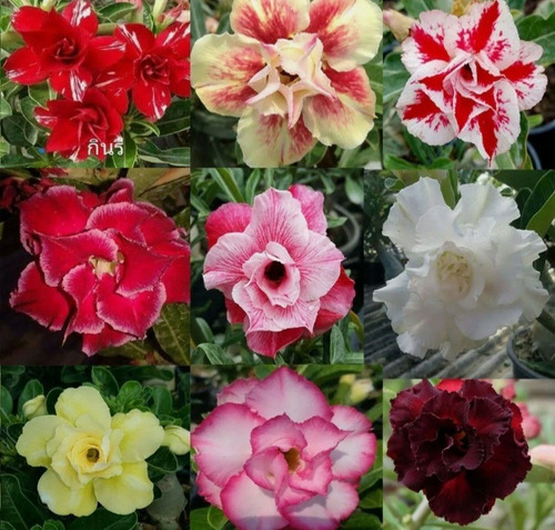 Imagem 1 de 10 de Semente Rosa Do Deserto Mix Cores 100 Adenium Frete Grátis