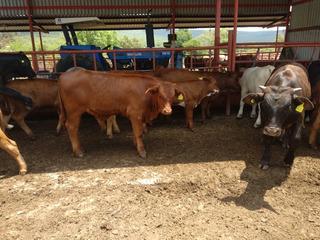 Becerros Beefmaster