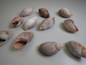 Conchas De Caramujo Natural Para Aquários