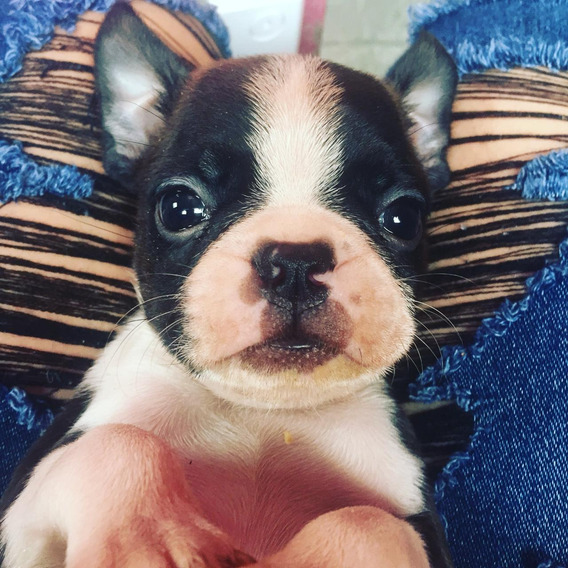 Boston Terrier Império Canino, Filhotes Disponível