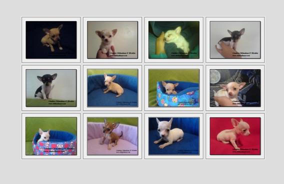 Criadero De Chihuahuas