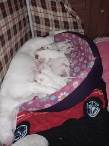 Cachorros Pitbull Para Entrega Inmediata