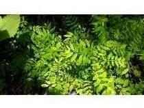 Plantas De Cedro Rojo.(cedrela Odorata L.)