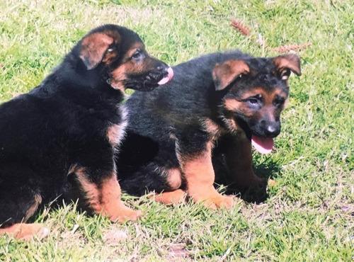 Ovejeros Alemanes Cachorros Pedigree, Tatuados,