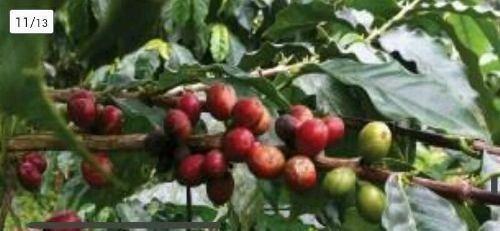 Terreno De Inversión Se Vende Finca Cafetalera En Produccion